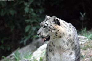 snow leopard 002 by neverFading-stock