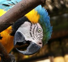 Macaw Peek by SteffiSTEREO
