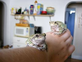Grey Tree Frogs by cosmicspider