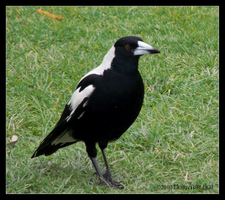 Magpie on Grass by Mogrianne