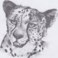 Cheetah Sketch by Eliket