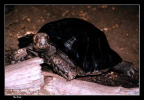 Tortise by vbgecko