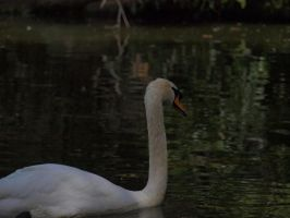 Swan In Shade by HempHat