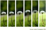 dandelion by mblung