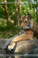 Amur Repose by FicktionPhotography