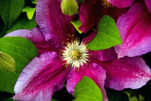 Clematis by JennDixonPhotography