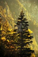 Pine Tree AF canyon eventide by houstonryan
