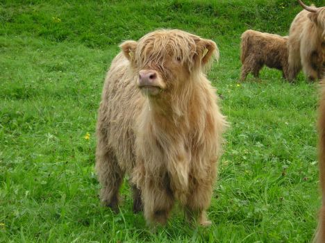 Highland Cow Calf by maroon83