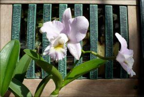 Orchid 'Hihimanu' Puppy Love by Undistilled