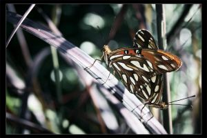 Butterfly Copulation I by freezingsouls