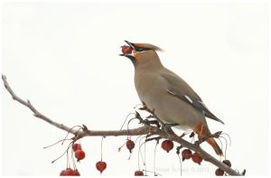 Bohemian Waxwing by Ryser915
