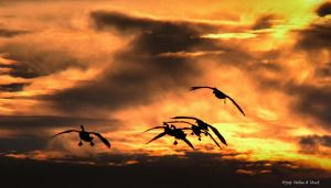 Into the sunset go some geese by abstractcamera