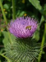 Tiny bee on a thistle by TinyWild