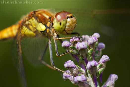 Common Darter by Alannah-Hawker