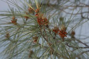 Pine Needles by LikeARollingStone15