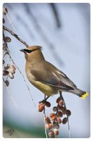 Cedar Waxwing by AmirNasher
