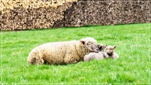 Lambs 01 by 0-Photocyte