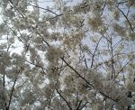 Blossoms by resada
