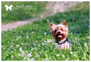 Alfi, Yorkshire Terrier by ChaosTrickser