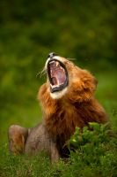 African Lion 57 by catman-suha
