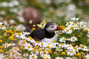 Puffin by Sagereid