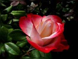 Flamed Red Rose by 123LicenseToPaint