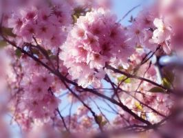 Cherry blossom by ShihonRainbow