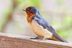 Barn Swallow by mydigitalmind