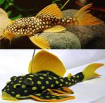 L-14 Sunshine Pleco by irshprncsk