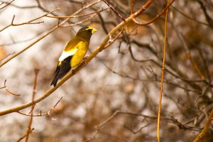 Yellow Finch - 1 by creative1978