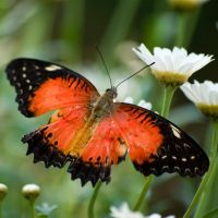 orange butterfly by photographybypixie