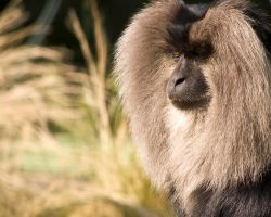 Lion-Tailed Macaque by Yslen