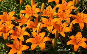 Lilies galore by gigi50