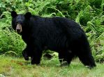 Black Bear July 13 2010 b by seto2112