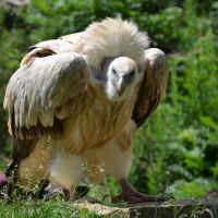 vulture XIII by mimose-stock
