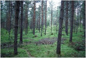 BG Pine Forest II by Eirian-stock