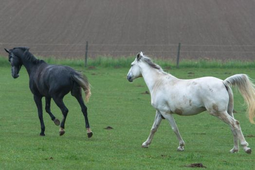 Grey Geldings Cantering on Pasture by LuDa-Stock