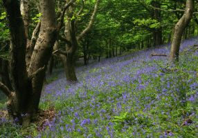 Bluebell Hill by nectar666
