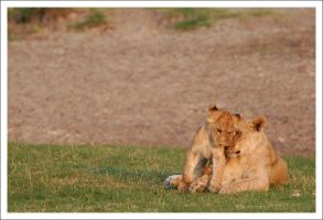 Lions - 2907 by eight-eight