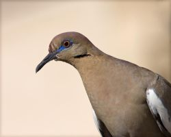 White-winged Dove by syadalymam