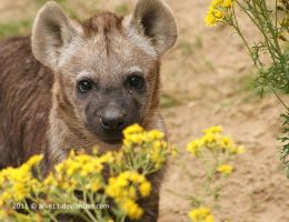 Baby Hyena by afke11