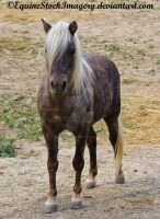 Shetland-Welsh X 1 by EquineStockImagery
