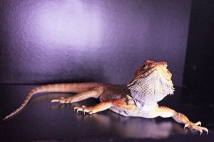 Bearded Dragon Stock 03 by DigitalissSTOCK