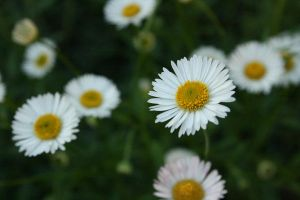 Daisies by newdystock
