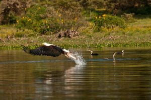 Fish Eagle 3 by catman-suha