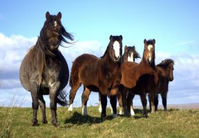 mountain ponies in Merthyr Tydfil by imtl