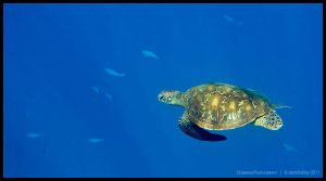 Green turtle 6 by Dominion-Photography
