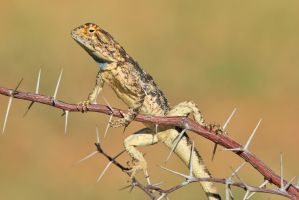 Spiny Agama - African Lizard - Colors of Summer by LivingWild
