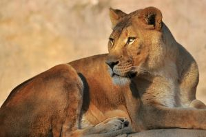 Lying Lioness by robbobert
