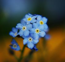 forget me not by Kaja-kgr